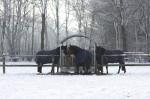 Pferde_Winter